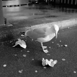 Gull Gall